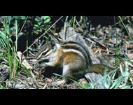 colorado-chipmunk