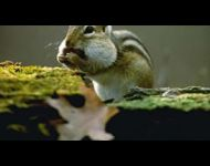 eastern-chipmunk
