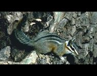 cliff-chipmunk