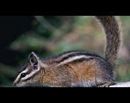 townsends-chipmunk