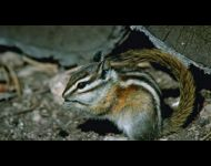least-chipmunk