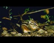 merriams-chipmunk
