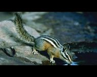 yellow-pine-chipmunk'